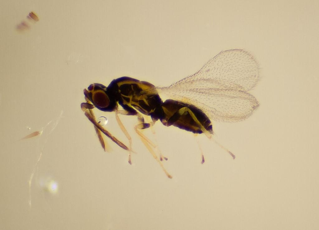 Aprostocetus sp.