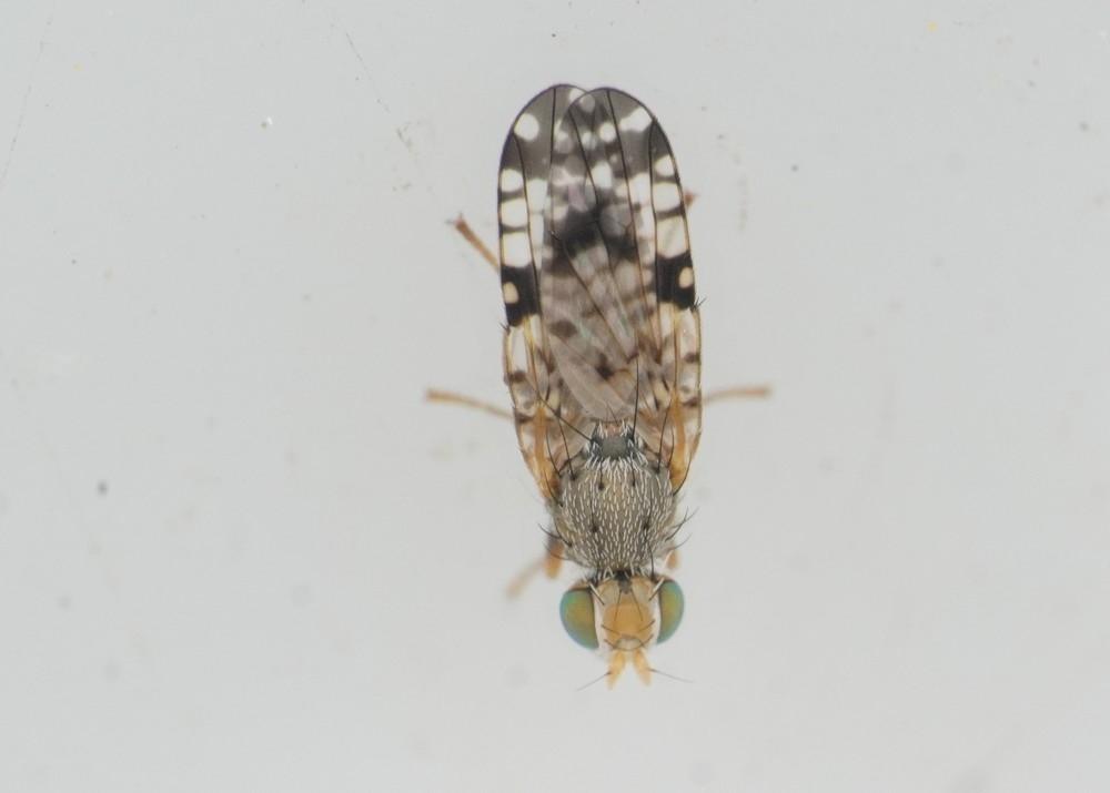 Brøndselflue (Dioxyna bidentis)