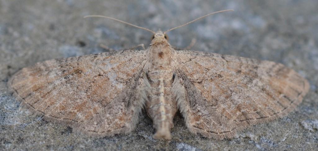 Foto/billede af Gåsefoddværgmåler (Eupithecia simpliciata)