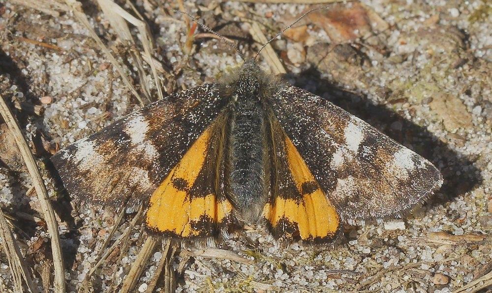 Birkedagmåler (Archiearis parthenias)