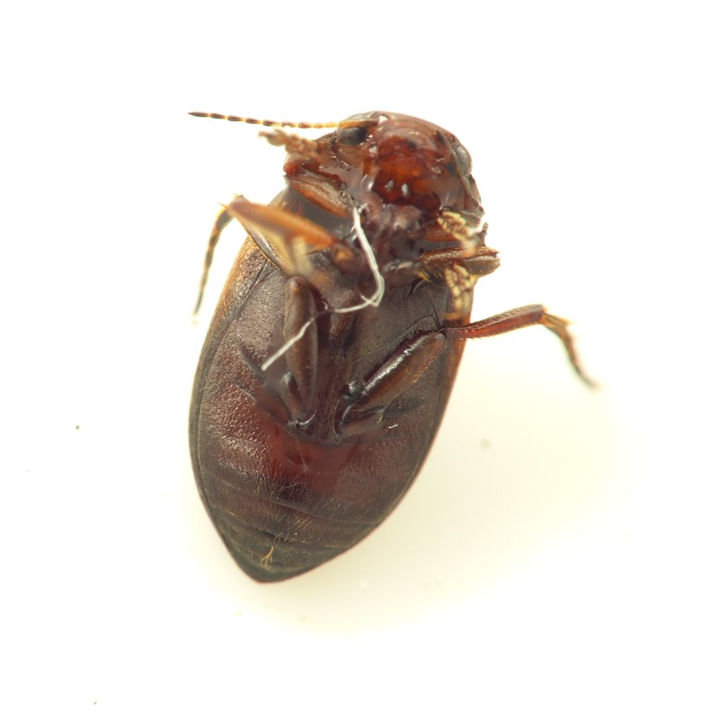 Hydroporus figuratus