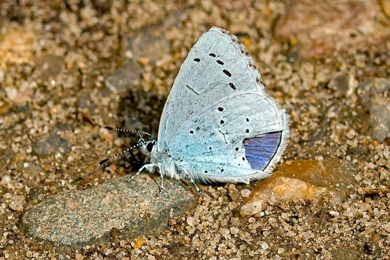 Skovblåfugl (Celastrina argiolus)
