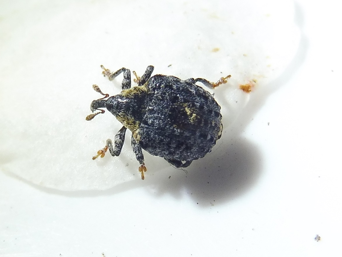Foto/billede af Cionus tuberculosus (Cionus tuberculosus)