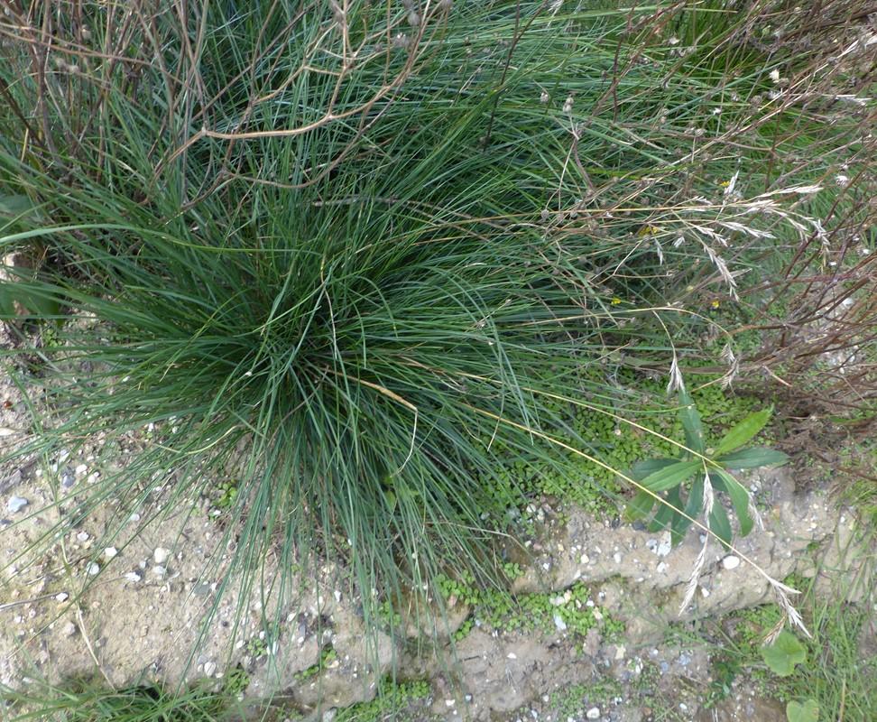 Vej-Svingel (Festuca rubra ssp. commutata)