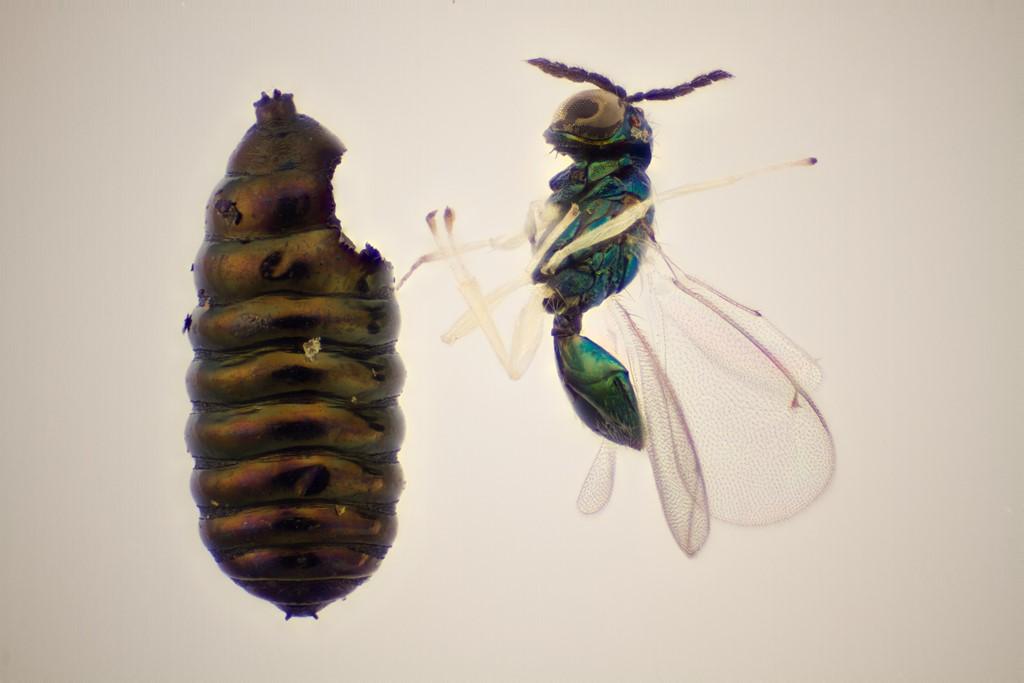 Chrysocharis polyzo (Chrysocharis polyzo)