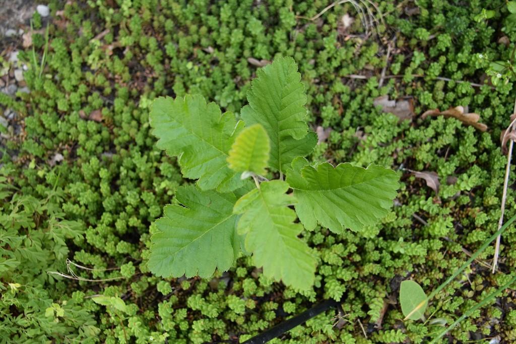 Foto/billede af Østrigsk Røn (Sorbus austriaca)