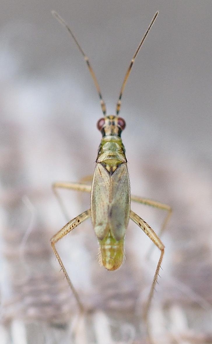 Foto/billede af Dicyphus pallidus (Dicyphus pallidus)