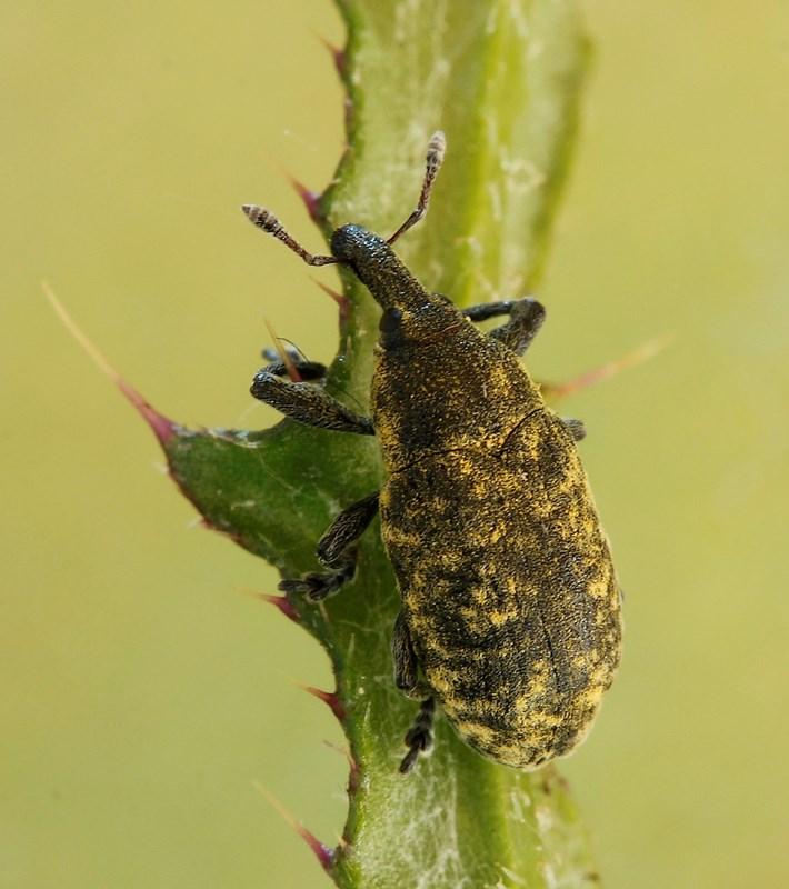 Foto/billede af Larinus planus (Larinus planus)