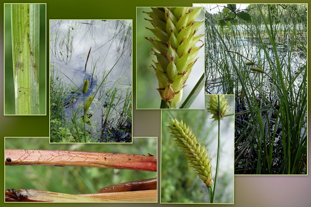 Blære-Star (Carex vesicaria)