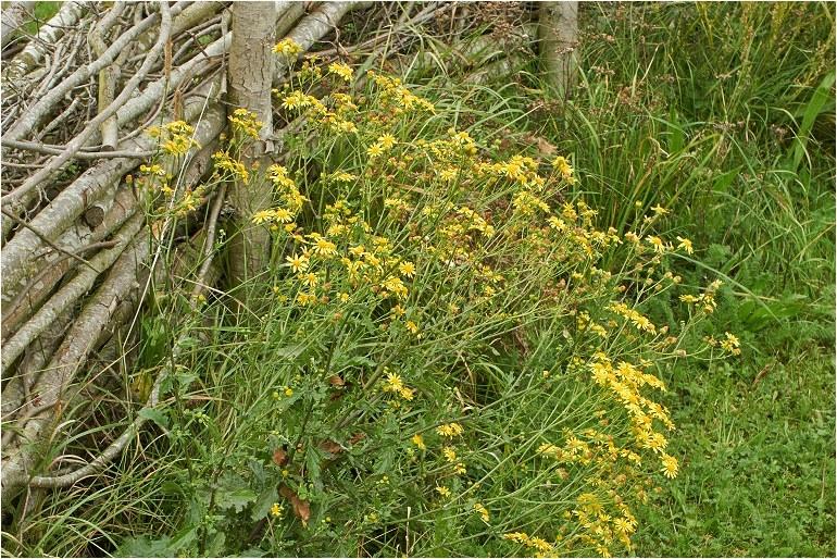 Foto/billede af Småblomstret Brandbæger (Senecio aquaticus ssp. erraticus)