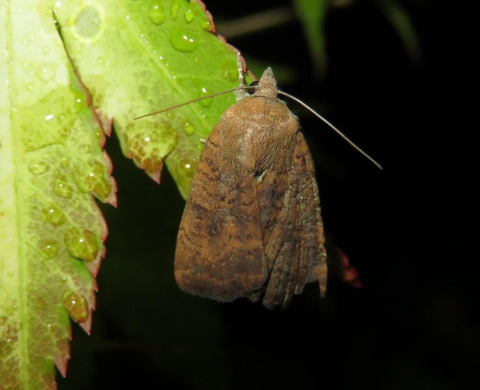 Foto/billede af Mørksømmet Smutugle (Noctua interjecta)