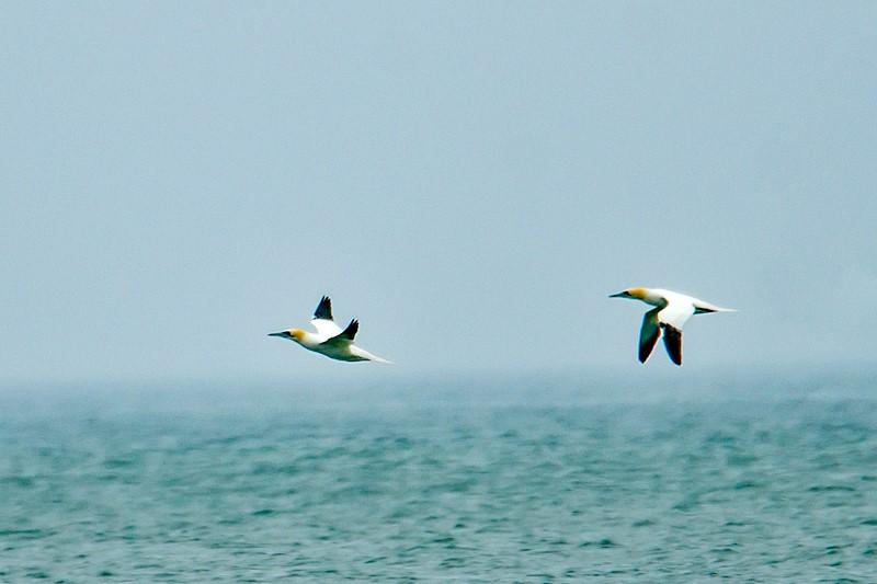 Foto/billede af Sule (Morus bassanus)