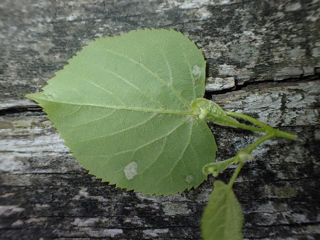 Foto/billede af Linderustgalmide (Eriophyes leiosoma)