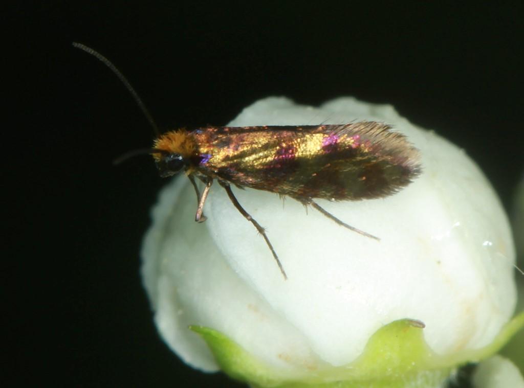 Foto/billede af Løvskovsursommerfugl (Micropterix tunbergella)
