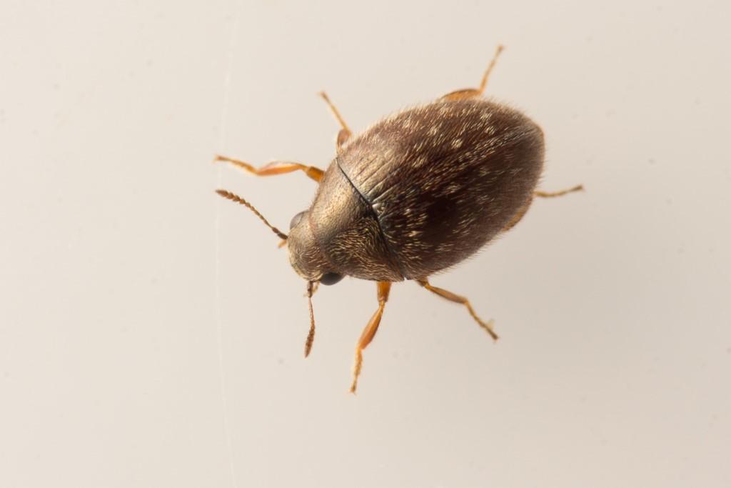 Foto/billede af Simplocaria semistriata (Simplocaria semistriata)