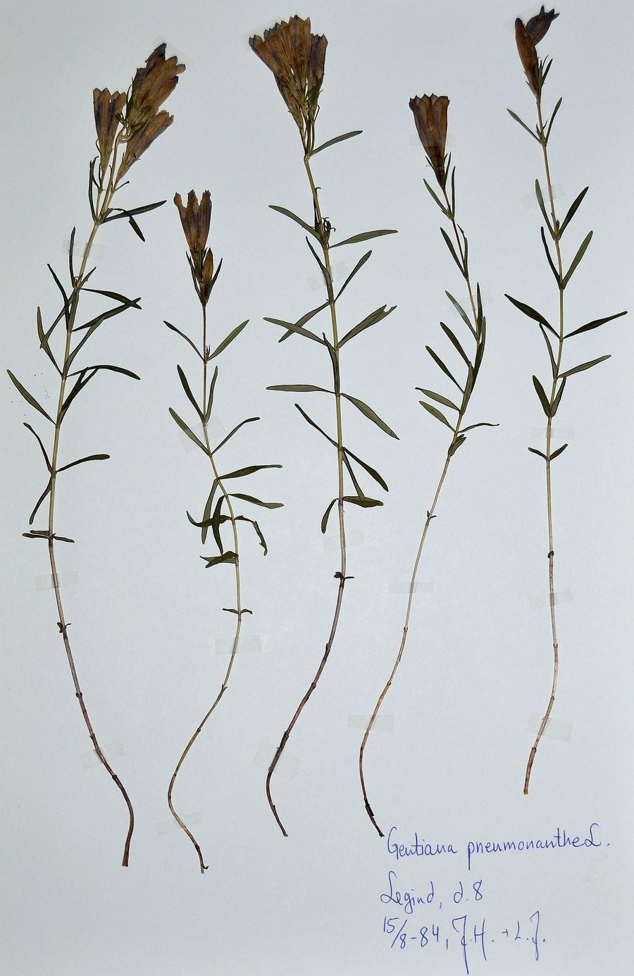 Foto/billede af Klokke-ensian (Gentiana pneumonanthe)