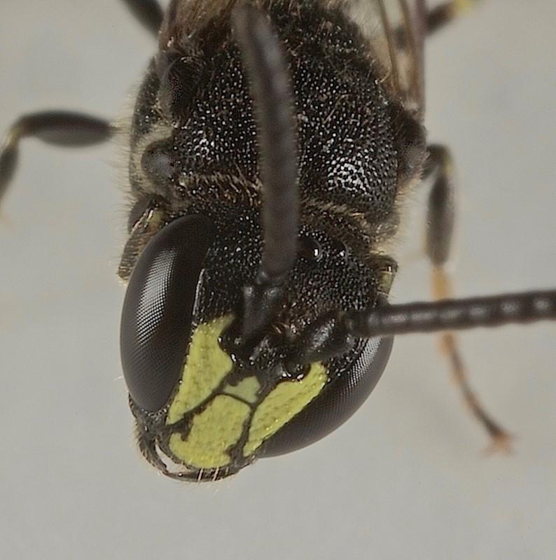 Foto/billede af Hylaeus communis (Hylaeus communis)