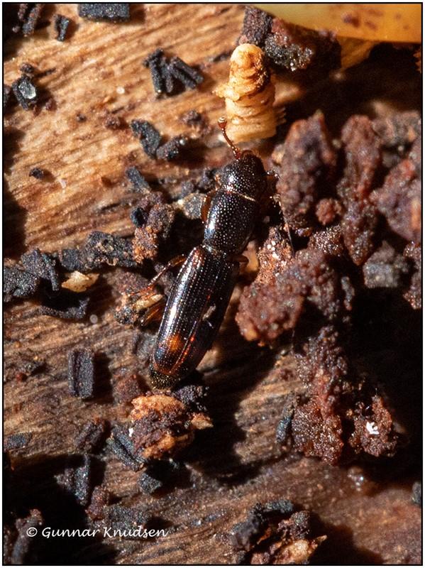 Foto/billede af Toplettet Barksmalbille (Rhizophagus bipustulatus)