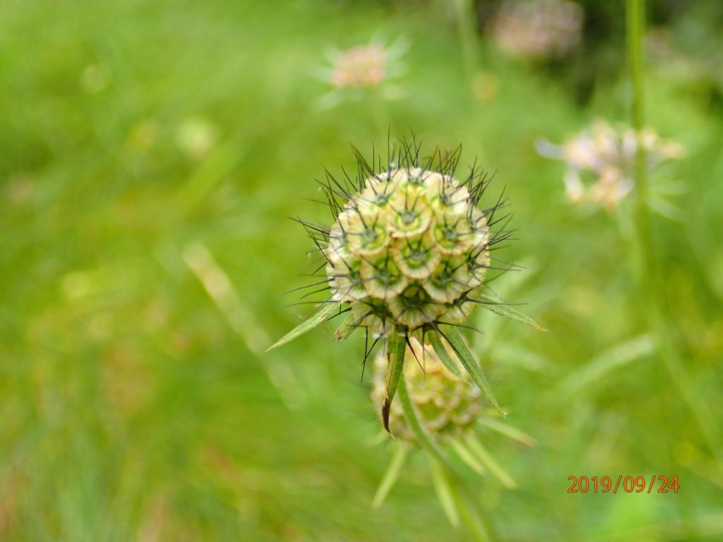 Foto/billede af Due-Skabiose (Scabiosa columbaria)