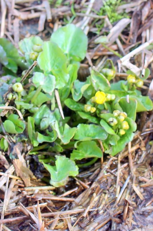 Foto/billede af Eng-kabbeleje (Caltha palustris ssp. palustris)