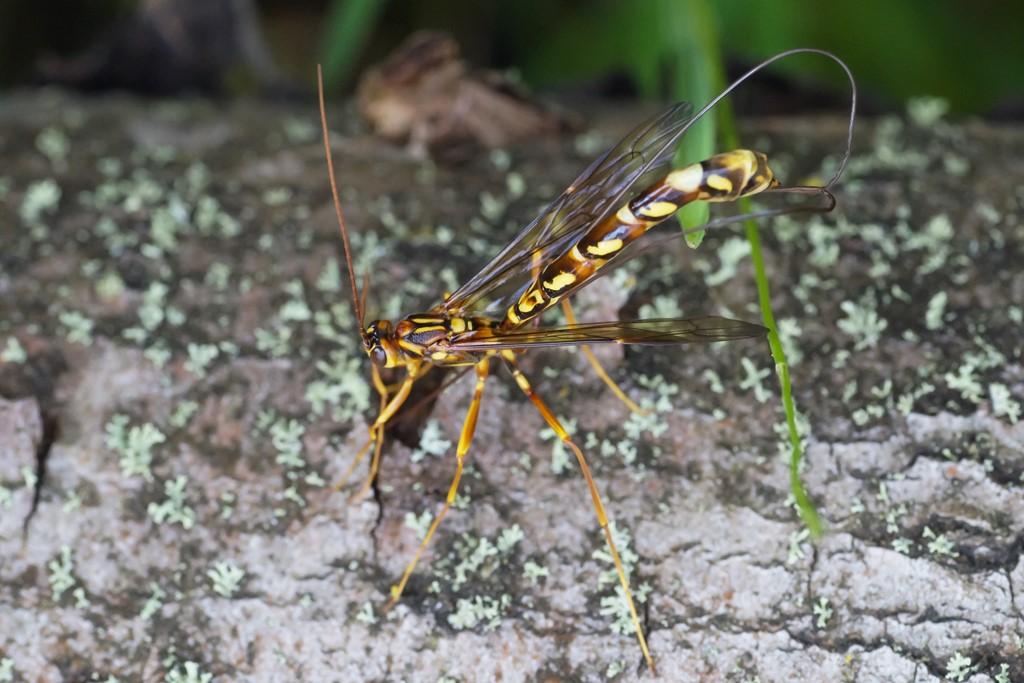 Foto/billede af Megarhyssa perlata (Megarhyssa perlata)
