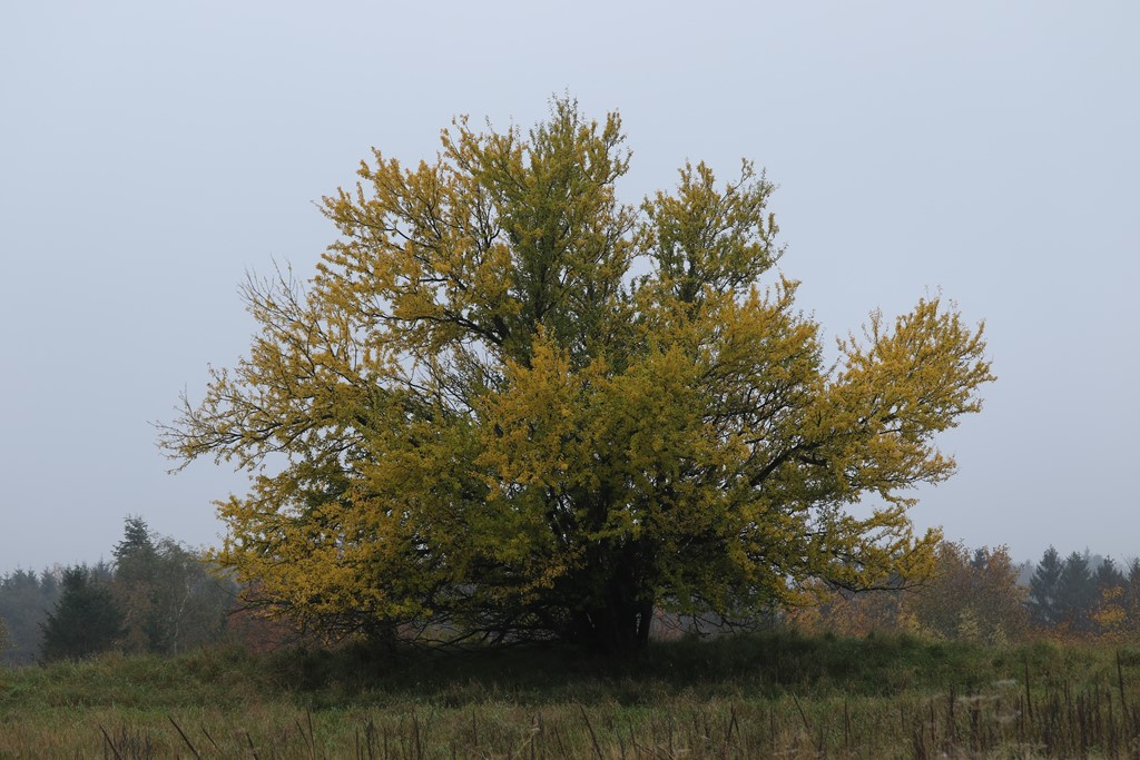 Foto/billede af Mirabel (Prunus cerasifera)