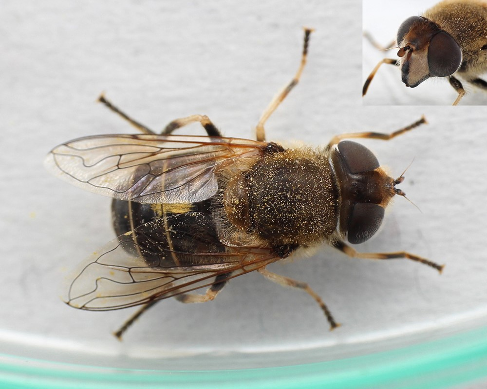 Mark-Dyndflue (Eristalis interrupta)