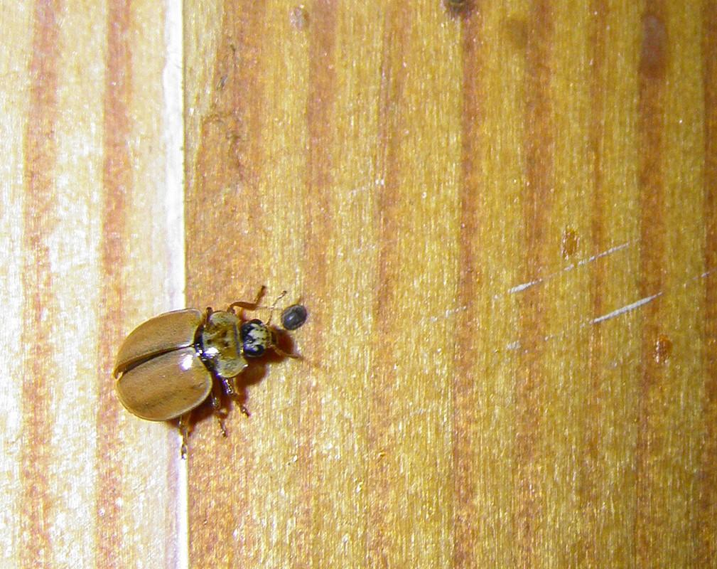 Foto/billede af Uplettet Mariehøne (Aphidecta obliterata)