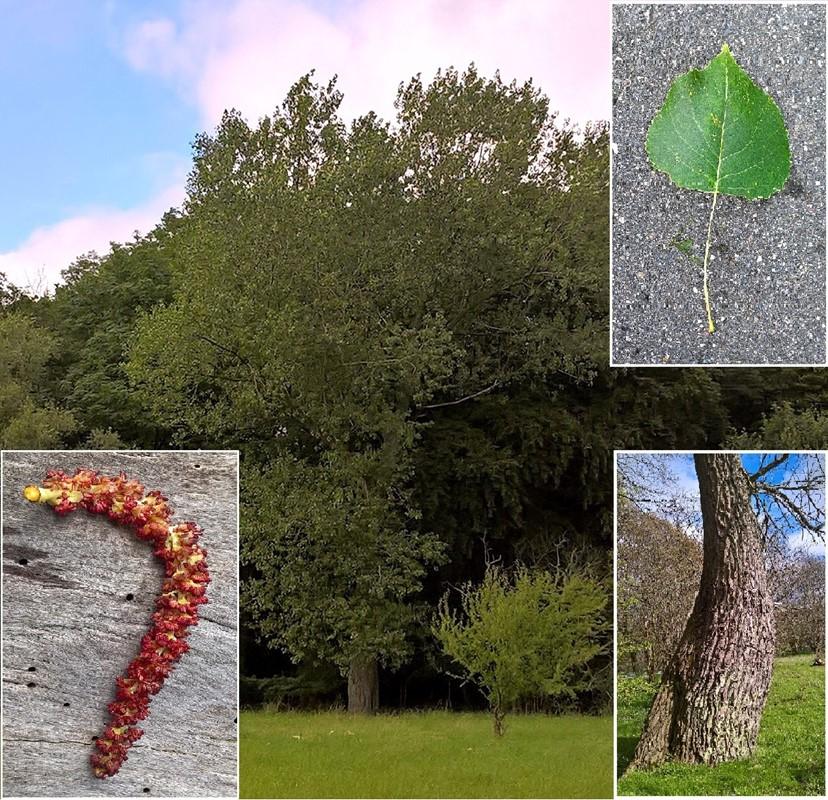 Foto/billede af Canadisk Poppel (Populus x canadensis)