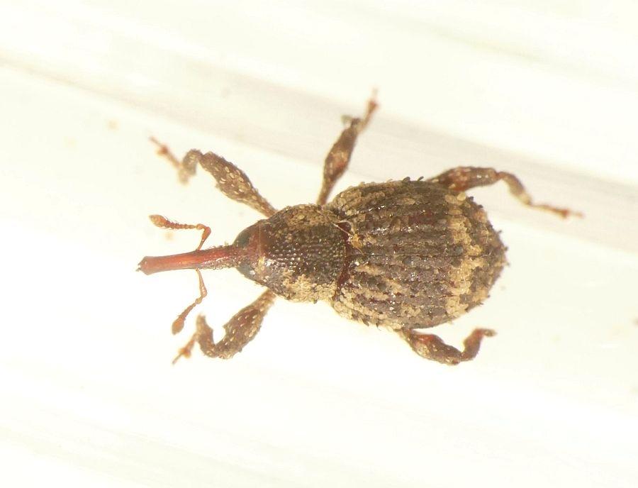 Foto/billede af Trachodes hispidus (Trachodes hispidus)