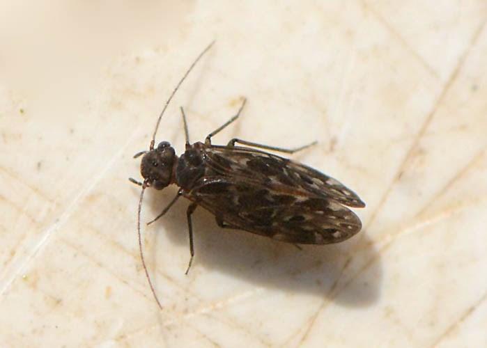 Peripsocus alboguttatus