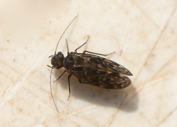 Peripsocus alboguttatus (Peripsocus alboguttatus)