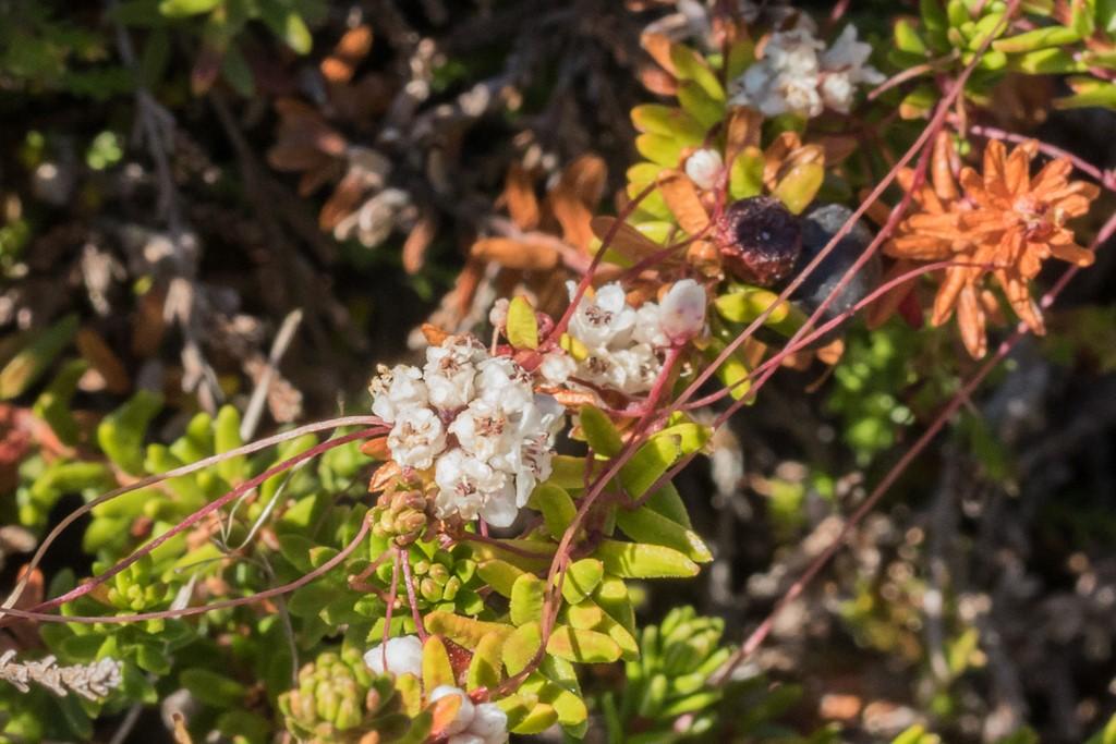 Foto/billede af Lyng-Silke (Cuscuta epithymum ssp. epithymum)