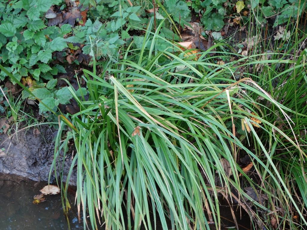 Foto/billede af Knippe-Star (Carex pseudocyperus)