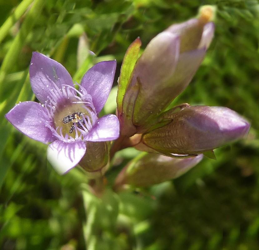 Foto/billede af Eng-Ensian (Gentianella uliginosa)