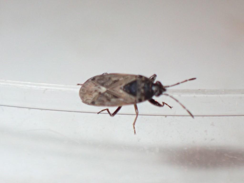 Peritrechus convivus