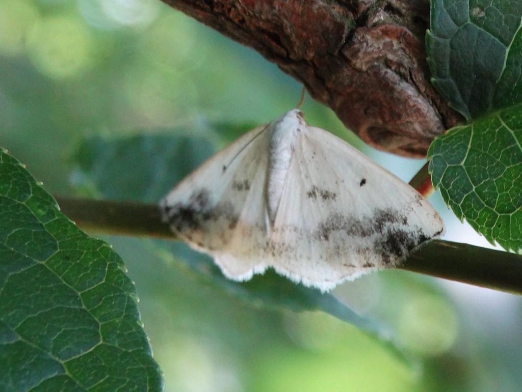 Foto/billede af Tobåndet Atlaskmåler (Lomographa temerata)