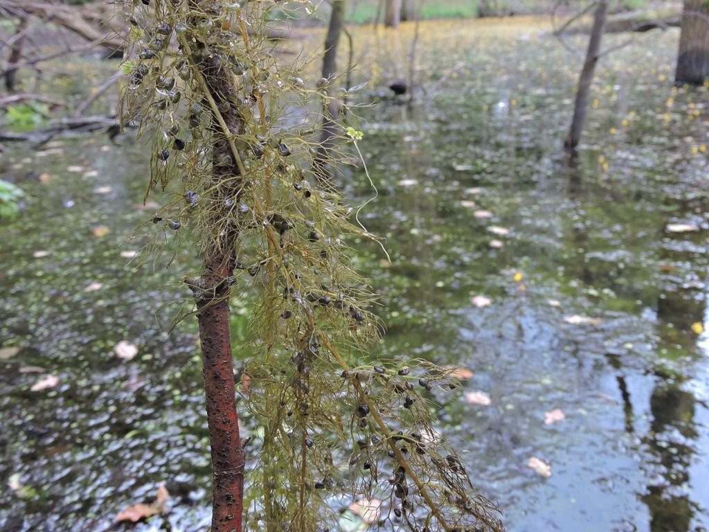 Foto/billede af Almindelig blærerod (Utricularia vulgaris)