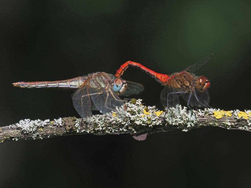 Rødåret Hedelibel