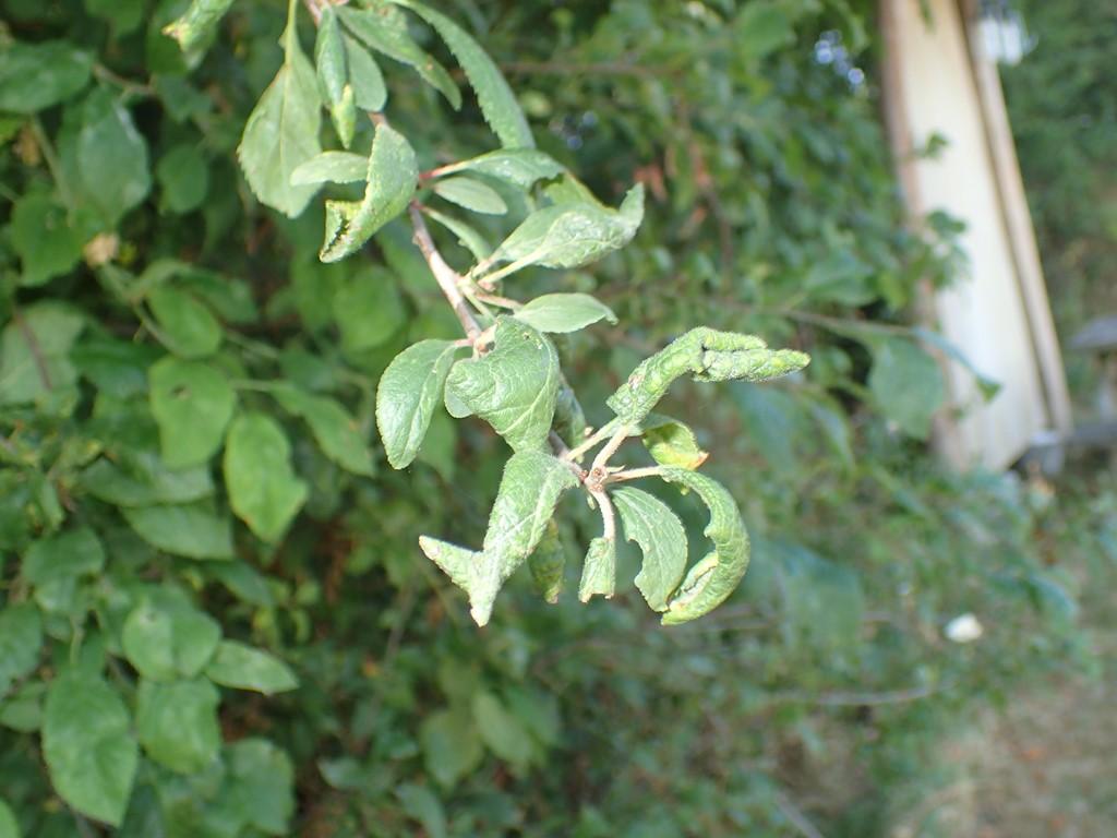 Lille Blommebladlus (Brachycaudus helichrysi)