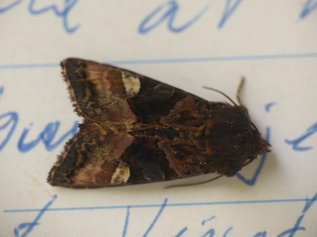 Foto/billede af Lygtebærer-ugle (Euplexia lucipara)
