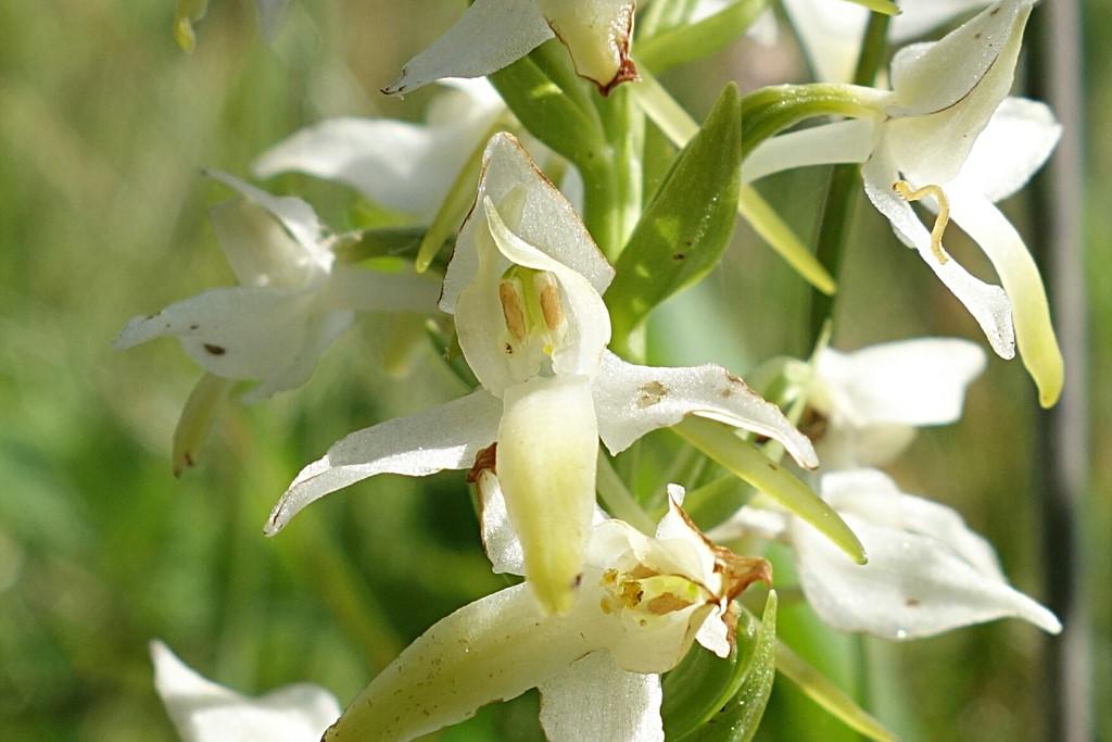 Foto/billede af Bakke-Gøgelilje (Platanthera bifolia ssp. bifolia)