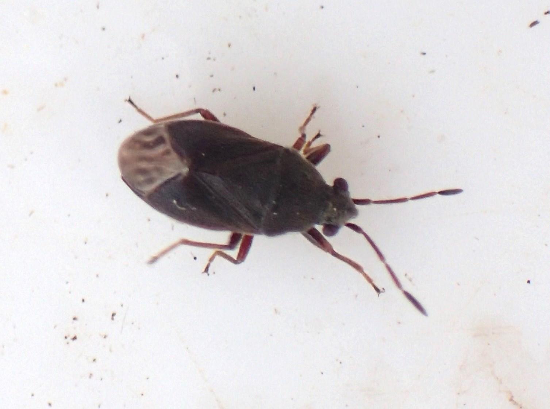 Stygnocoris fuligineus (Stygnocoris fuligineus)