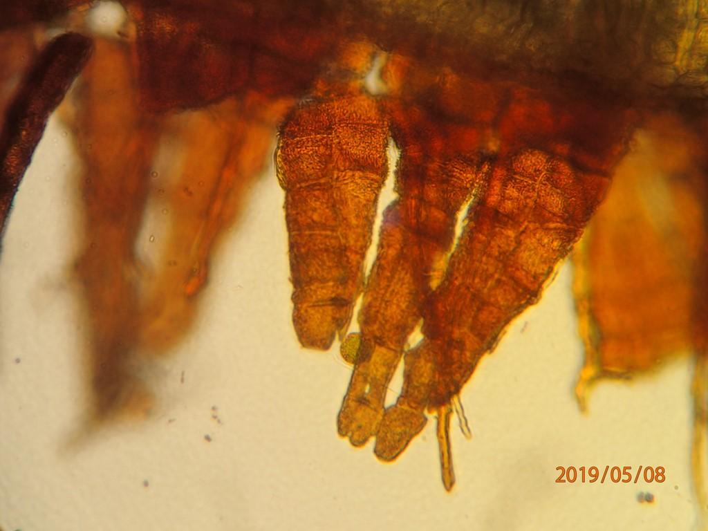 Foto/billede af Smuk Furehætte (Orthotrichum pulchellum)