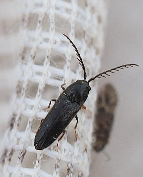 Foto/billede af Microrhagus pygmaeus (Microrhagus pygmaeus)