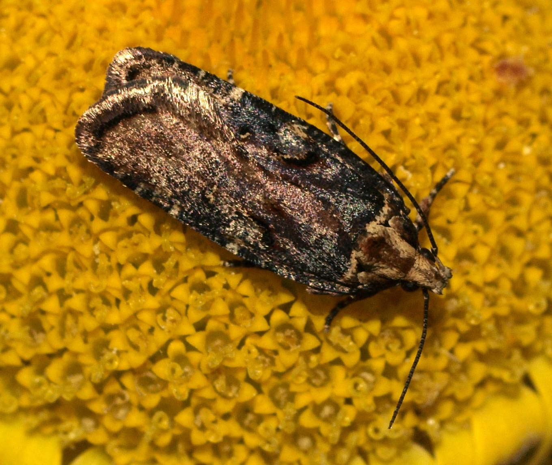 Foto/billede af Agonopterix liturosa (Agonopterix liturosa)