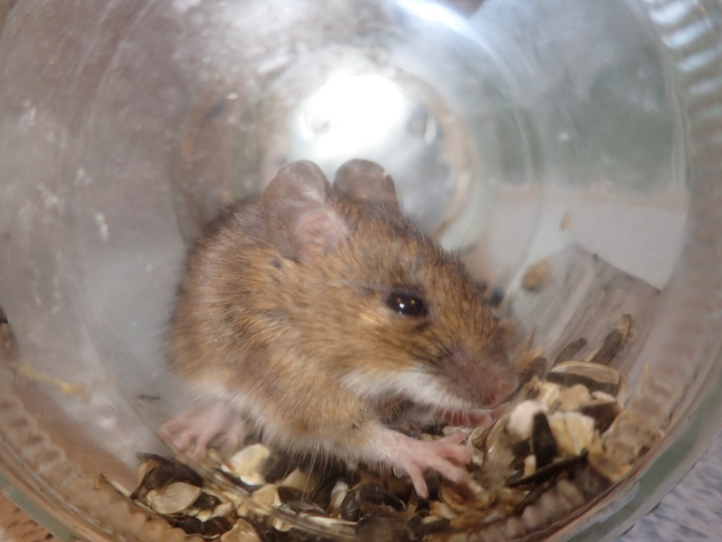 Foto/billede af Skovmus (Apodemus sylvaticus)