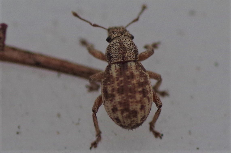 Foto/billede af Strophosoma capitatum (Strophosoma capitatum)