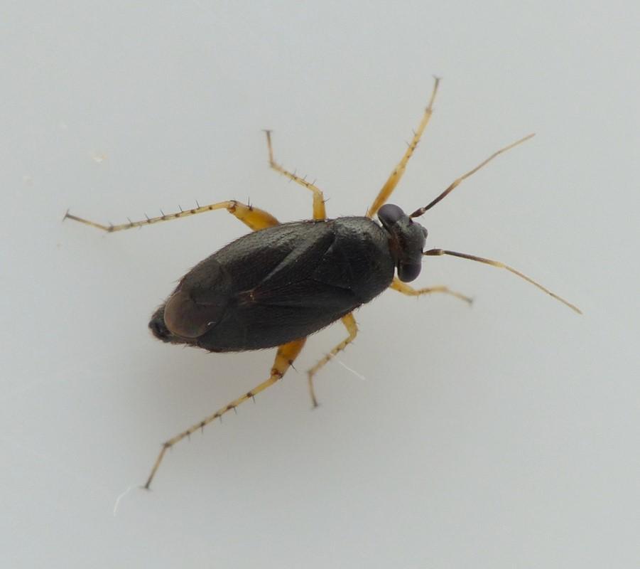 Foto/billede af Chlamydatus pulicarius (Chlamydatus pulicarius)