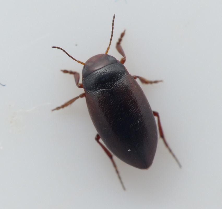 Hydroporus tristis